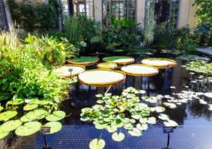 And this is a royal water-platter, Victoria amazonica.