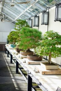 We also saw bonsai trees displayed on a table.