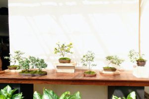 This is a chrysanthemum bonsai display.