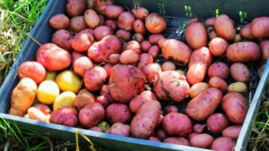 Look at the beautiful potatoes Ryan and Wilmer harvested.