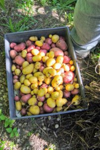 Both gold and red potatoes were planted and picked.