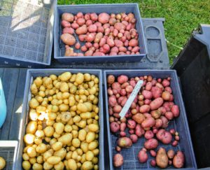 "They will be stored in my flower room and enjoyed all year long, until more ""seed potatoes"" are ready to plant again."