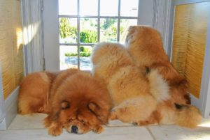 Here are my gorgeous Chow Chows nearby - GK is resting, while Empress Qin and Peluche watch the activity outside the kitchen door.