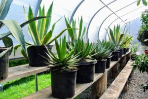 These agaves are equally spaced on the shelves and positioned so none of them touch.