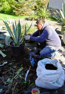 Outside, Wilmer is repotting an agave that outgrew its pot.