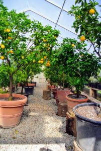 Citrus plants dislike abrupt temperature shifts and need to be protected from chilly drafts and blazing heaters. Consider the needs of the plants when deciding where to store them indoors.