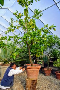 Dwarf citrus trees require at least eight to 12 hours of full sunshine and good air circulation to thrive.