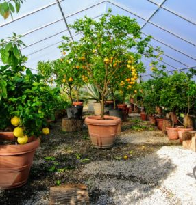 Tall citrus trees are placed on the gravel floor, while others are placed on tree stumps. Varying the height of these plants saves a lot of space and adds nice texture to area.