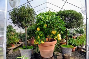 This 'Ponderosa' citrus tree is the last pot to be stored in the hoop house. I always keep it in the front just behind the doors. This plant produces huge lemons, often up to five-pounds each! I am so fortunate to be able to grow citrus here in the Northeast. My potted citrus plants thrive in this temperature controlled hoop house during winter, and provide such delicious fruits. All the citrus plants are now safely tucked into the hoop house for the cold season.