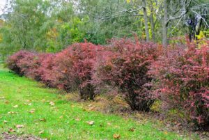 Here is my row of barberry leading to the run-in shed. Barberry shrubs make great additions to the landscape and are known for their rich color and year-round garden interest.