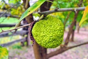 Here is a single Osage orange hanging low on the tree - these fruits eventually drop to the floor in late October.