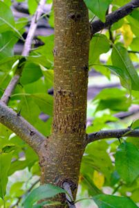 Here is the bark of a slightly more mature Osage orange tree. On older trunks the bark is orange-brown and furrowed.