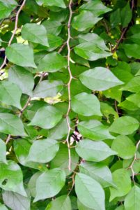 The leaves are three to five inches long and about three-inches wide. They are thick, firm, dark green and pale green.