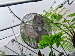 This greenhouse has three circulation fans. The crew makes sure no part of any plant is blocking the fans.