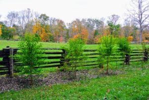 These are young Osage orange trees - about six or seven years old. They will grow with upwardly arching branches, forming low, rounded crowns. These trees must be regularly pruned to keep them in bounds.