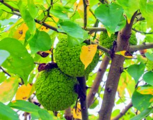 Osage oranges should be grown in full sun on well-drained soil. This tough, native plant can withstand almost anything when established - heat, cold, wind, drought, poor soil, ice storms, and rot.