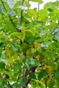 Here are a couple more hiding among the many leaves. The wood of the Osage orange tree is extremely hard and durable.