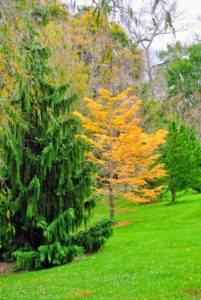The pinetum, which is an arboretum of pine trees or other conifers for scientific or ornamental purposes, is just turning color - the bright yellow larch stands out.