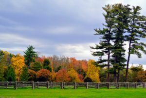 The stand of giant white pines on the right is majestic. Pinus strobus, commonly known as the eastern white pine, white pine, northern white pine, Weymouth pine, and soft pine is a large pine native to eastern North America.