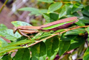 Mantids are big, slender insects. They are two to four inches long when fully grown. Ranging from green to brown in color, they blend in well among grasses and shrubs.