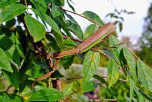 Here, you can see this mantis reaching out with its long front legs and slowly moving to another area of the plant.