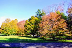 I love the changing colors of the season. This is my grove of American beech trees, Fagus grandifolia. These American beech trees offer a beautiful autumn show every year.