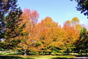 American beech is native to the eastern United States and Canada. It is a deciduous tree with smooth gray bark.