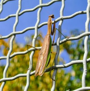 Here's another praying mantis on the fence of my cutting garden. Mantises have enormous appetites and eat various aphids, leafhoppers, mosquitoes, caterpillars and other soft-bodied insects when young. Later they will eat beetles, grasshoppers, crickets, and other pesky larger insects.