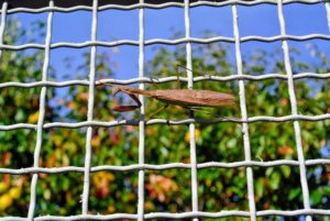 Here is the mantis moving along the fence, looking for prey.