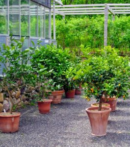 During the warmer months, I keep my potted citrus specimens outside in front of the vegetable greenhouse where there is ample room between each pot for watering.