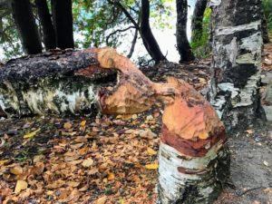 """Here is more evidence of beaver activity. Once the bark is all eaten, they reuse the stick to build their lodges and dams - """"busy as a beaver""""."""