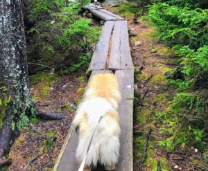 """One side of the pond is comprised of """"boardwalks"""" like this one. They are meant to take the stress of thousands of footprints off the forest floor. The boardwalk stretches for at least a mile and is very slippery. We all got a good workout keeping our balance. The doggies, walking on fours, were definitely more stable."""