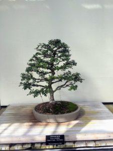 This bonsai specimen is Chinese elm, Ulmus parvifolia.