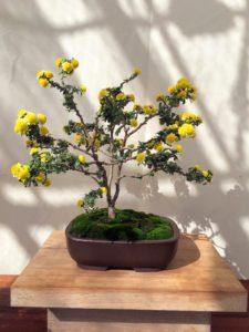 This one is bonsai cascade anemone mum, Chrysanthemum × morifolium 'Ugetsu'.