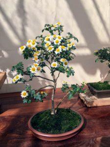 And here is bonsai single mum, Chrysanthemum × morifolium 'Chidori'.