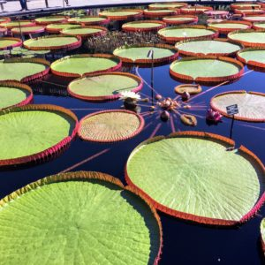 These waterlilies are gorgeous. This one is a hybrid water-platter, Victoria 'Longwood Hybrid'.