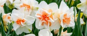 Some of the other daffodils I ordered this year include 'Delnashaugh'. These are double creamy white blooms with fluffy peach-pink segments. (Photo by Colorblends)