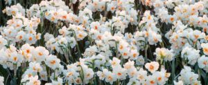 And, 'Sir Winston Churchill' daffodils - each stem bears clusters of three to five white flowers with flecks of orange in the middle. Their scent is fresh and sweet. I can't wait until spring! Have you planted all your bulbs? (Photo by Colorblends)