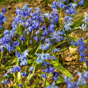 This is Blue Squill - excellent for naturalizing beneath trees that lose their leaves. (Photo by Colorblends)