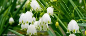 These are the beautiful white snowflakes that pop up in early spring. These form clusters of small white bells on arching stems. They prefer full sun or light shade and thrive in soil that is too wet for most other bulbs. (Photo by Colorblends)