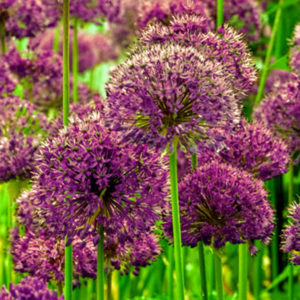"Here, we are planting ""Purple Sensation"" alliums - four-inch globes of rich purple flowers on tall stems. (Photo by Colorblends)"
