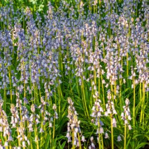 These are Spanish Bluebells. A shade-tolerant plant that bears spikes of lightly fragrant, porcelain blue, bell-shaped flowers. They are also ideal for naturalizing below shade trees. (Photo by Colorblends)
