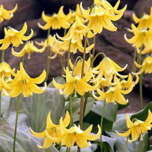 These are trout lilies. Trout lily flowers provide a nice spark of yellow in the garden. The delicate blooms, which resemble turks cap lilies, shine in dappled light. (Photo by Colorblends)