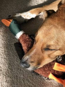 """""""Jesse and I enjoyed turkey for Thanksgiving, but our dog, Sadie, had duck instead - her favorite toy right now."""""""