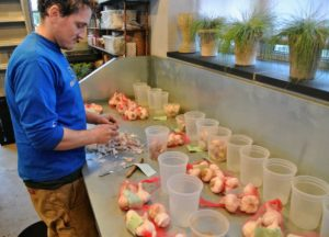 Ryan places the garlic in separate plastic containers, keeping all the labels near each type for easy identification.