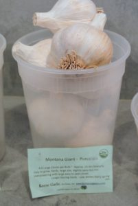 These Montana Giant-Porcelain garlic cloves are easy to grow, and are slightly spicy but not overpowering.