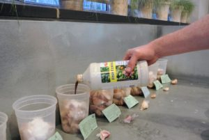 After the garlic soaks in alcohol, Ryan removes the liquid and then pours a bit of fish emulsion into each container. This is an organic garden fertilizer that's made from whole fish or parts of fish. It's easy to find at garden centers or wherever gardening supplies and fertilizers are sold.