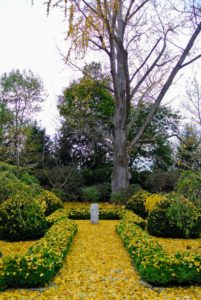 Here is a closer look. By the end of the weekend, the great ginkgo in this garden is nearly bare.