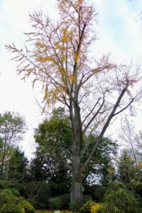 The top of the great ginkgo will soon lose the rest of its leaves - such a fascinating deciduous tree. When did your ginkgo trees lose their leaves? Let me know in the comments section - I am very curious to hear.
