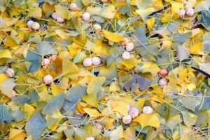 My great ginkgo tree is a female specimen. Female ginkgo trees produce tan-orange oval fruits that fall to the ground in October and November.